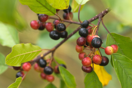 leafage: The alder buckthorn berries over green background