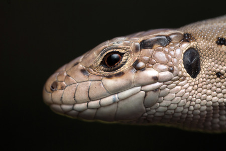 lacerta: The lizard lacerta agilis close up portrait