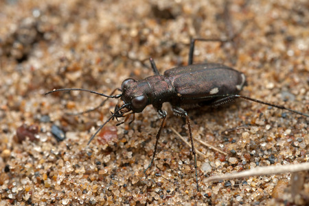 cicindela: Cicindela germanica tiger-beetle on a ground Stock Photo