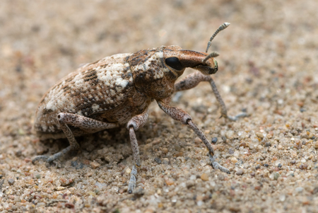 The weevil crawling on a ground