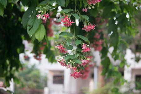 suckle: rangoon creeper flowers on the tree