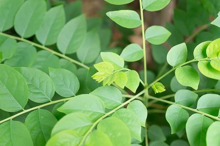 put on: put forth fresh leaves