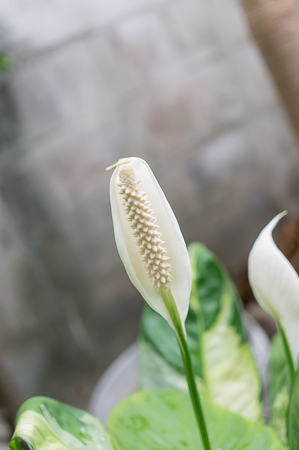 peace lily: Peace Lily on white background