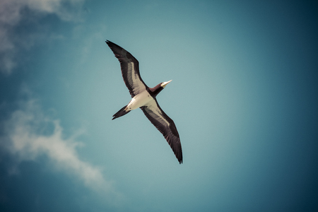 Caribbean Pelican (pelecanidae) Stock Photo