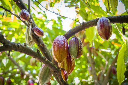 Cocoa Growing In The Caribbean Stockfoto