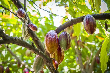 Kakaoanbau in der Karibik Standard-Bild