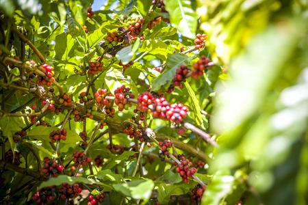 arbol de cafe: Caribbean Coffee Tree
