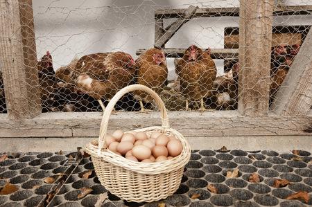 non stock: Basket with eggs at henhouse on organic farm