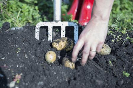 pitchfork: Woman picking potatoes earth fresh garden