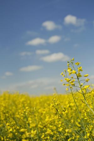 oilseed: Field of oilseed rape