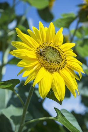 helianthus: Close-up sunflower yellow blossom bee