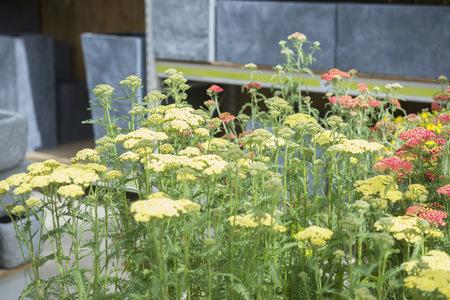 yarrow: Achillea millefolium flowers for sale in garden centre, Augsburg, Bavaria, Germany