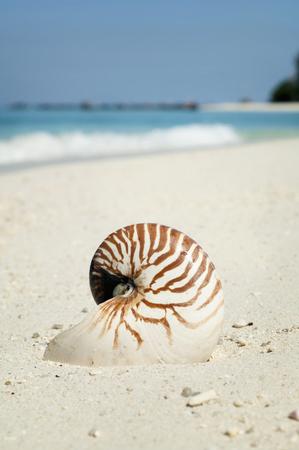 nautilus at beach, close-up, Koh Lipe, Thailand