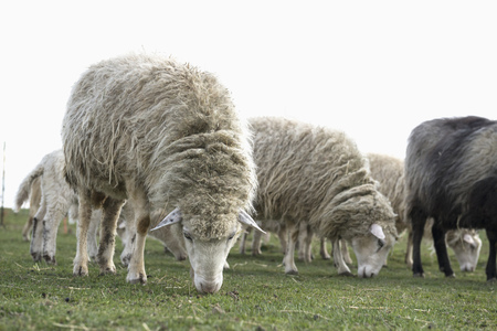 Sheep grazing in the field, Bavaria, Germany LANG_EVOIMAGES