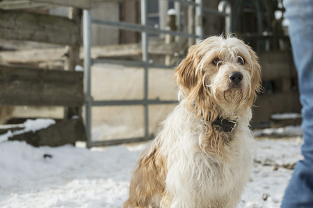 Close-up of a goldendoodle sitting on snowy field, Bavaria, Germany