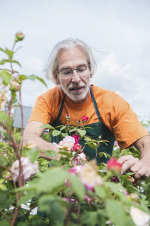 looking for job: Male gardener trimming roses in greenhouse, Augsburg, Bavaria, Germany