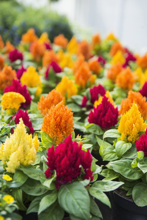 Cockscomb flowers for sale in flower shop, Augsburg, Bavaria, Germany LANG_EVOIMAGES
