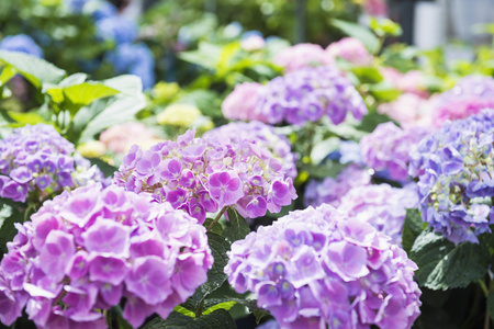 Hydrangea flowers for sale in garden centre, Augsburg, Bavaria, Germany
