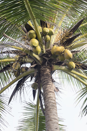 Low angle view of fresh coconuts hanging on palm tree, Tangalle, South Province, Sri Lanka LANG_EVOIMAGES