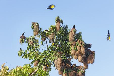 Yellow Oriole (Icterus nigrogularis) birds nest hanging from a tree, Orinoco Delta, Venezuela