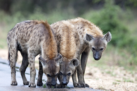 hienas: Three spotted hyenas on the road, Kruger national park, South Africa LANG_EVOIMAGES