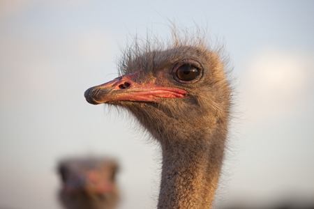 struthio camelus: Close-up of an Ostrichs(Struthio camelus) head, South Africa