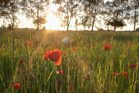 Red poppies growing in a field during sunset, Bavaria, Germany