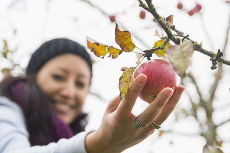 le: Close-up of a woman picking an apple from a tree in an apple orchard, Bavaria, Germany LANG_EVOIMAGES