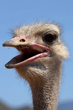 struthio camelus: Close-up of an Ostrichs(Struthio camelus) screaming, South Africa
