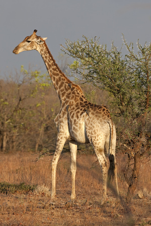 Giraffe (Giraffa camelopardalis) standing in the forest, Kruger National Park, South Africa LANG_EVOIMAGES
