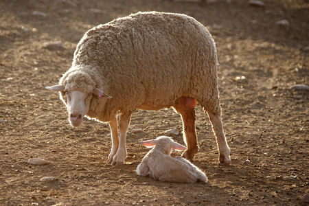 aries: Oveja madre con cordero recién nacido, Sudáfrica