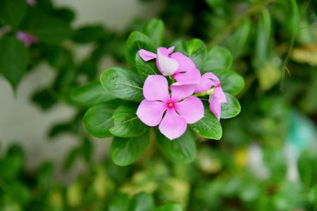 Watercress pink flower