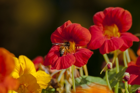 Honey bee collecting nectar from red flowers Stock Photo