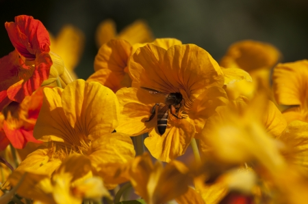 Honey bee collecting nectar from yellow flowers photo