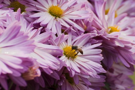 Honey bee collecting nectar from Pink flowers photo