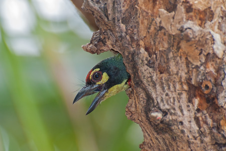bipedal: Coppersmith Barbet bird  Megalaima haemacephala , looking out of it s nest