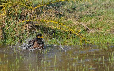 frolicking:  Indian Myna bird  Acridotheres tristis  , bathing in water