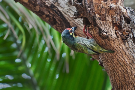 Coppersmith Barbet bird  Megalaima haemacephala  looking at it photo