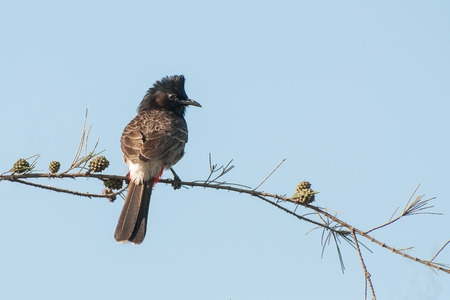 vented: Red vented Bulbul bird  Pycnonotus cafer