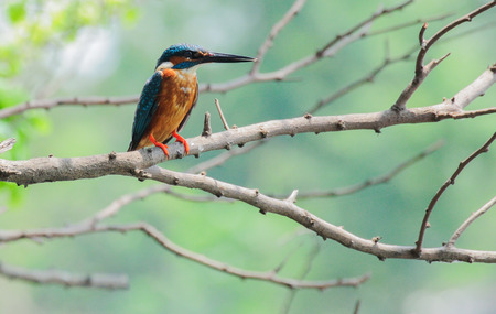 Common Kingfisher bird  Alcedo atthis  , Indian Kingfisher photo