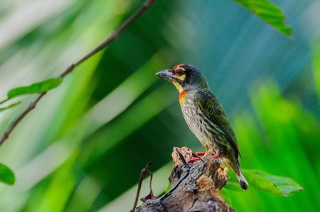 bipedal: Coppersmith Barbet bird  Megalaima haemacephala