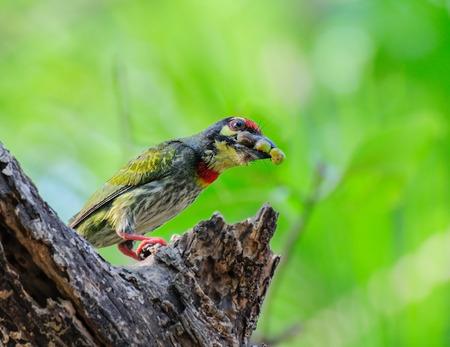 Coppersmith Barbet bird  Megalaima haemacephala  with food Stock Photo
