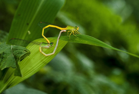 Mated damslflies posing on leaf with green background photo