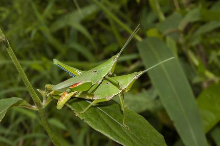 Grasshopper mating on grass leaf photo