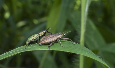 Black beetle pair mating on leaf, green background photo