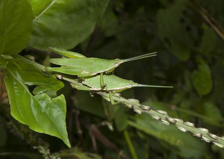 Grasshopper mating on grass leaf, green background photo