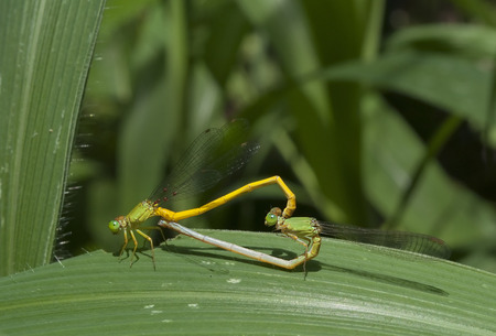 Mated damselflies on leaf photo