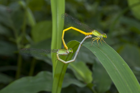 Mated damselflies posing on leaf with green background photo