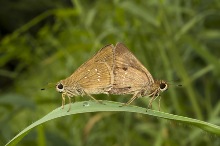 Butterfly Chestnut Bob, Iambrix salsala,  mating , green background, nature stock photograph photo