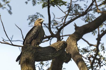 milvus: Bird, Pariah Kite - Milvus migrans, sitting on tree trunk